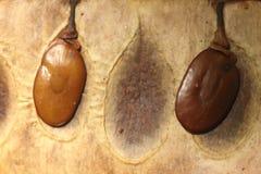 Весьма конец вверх тропических семян дерева внутри оболочки стоковая фотография