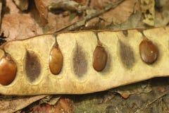 Весьма конец вверх тропических семян дерева внутри оболочки стоковые фото