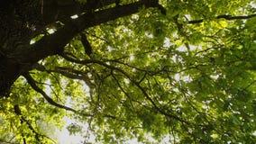 Ветви большого дерева Лучи ` s солнца делают их путь через листья акции видеоматериалы