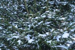 Ветви ели покрыты снегом крупным планом. Background made of spruce branches in the snow closeup Stock Images
