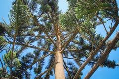 Ветви, хобот и конусовидные иглы дерева араукарии стоковые фото