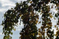 Ветвь березы с листьями которые начали поворачивать желтый стоковые изображения rf