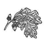 Ветвь дуба с эскизом жолудей гравируя вектор бесплатная иллюстрация