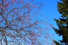 Ветки деревьев с маленькими яблоками на фоне неба. Tree branches with small apples in the sky Royalty Free Stock Photos