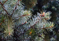 ветки ели. Spruce branches with young cones Royalty Free Stock Photography