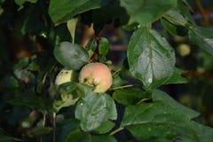 вертикаль вала съемки дождя яблока стоковая фотография