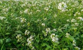 Взгляд луга с много белых цветков стоковое изображение rf