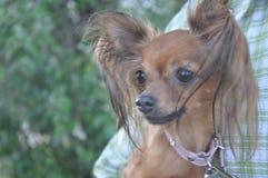 Взгляд маленькой собаки стоковые фотографии rf