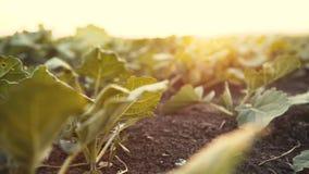 Взгляд поля с расти зеленые листья на заходе солнца 4K видеоматериал