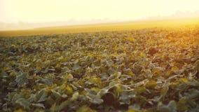 Взгляд поля с расти зеленые листья на заходе солнца 4K сток-видео