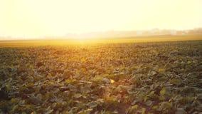 Взгляд поля с расти зеленые листья рапса на заходе солнца 4K видеоматериал