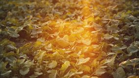 Взгляд поля с расти зеленые листья рапса на заходе солнца 4K сток-видео