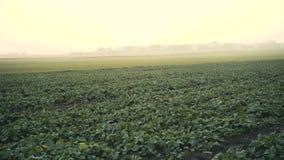 Взгляд поля с расти зеленый сбор рапса 4K видеоматериал
