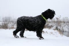 Взрослые жирные коры собаки гигантского шнауцера, стоя на банках реки рекой крутой банк Совсем покрытая зима, стоковое фото