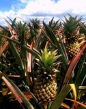 Викторианские ананасы обрабатывают землю стоковая фотография