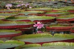 Виктория Amazonica - гигантская лилия воды стоковое фото