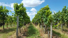 Виноградники в Святом Emilion стоковые изображения rf