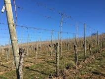 Виноградник зимы с безлистными заводами стоковое фото rf