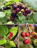 3 вида ягод стоковые фотографии rf