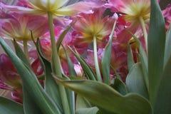 Вид снизу на весенний букет розовых тюльпанов stock image