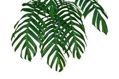 Висеть ветвей джунглей лист завода Monstera изолированный на белой предпосылке, пути клиппирования стоковые фотографии rf