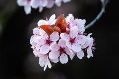 Вишневые цвета весны розовые стоковые изображения rf
