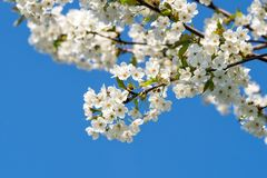 Вишневые цвета на голубом небе вал весны японии вишни предпосылки зацветая близкий флористический вверх стоковая фотография rf