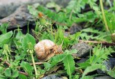 Вползать улитки сада Сад pomatia винтовой линии весной стоковое фото