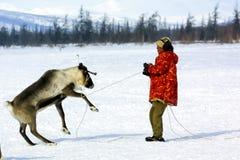 Выгон для пасти табуна северного оленя Северный олень в Chukotka, обрабатывать землю Chukchi стоковое фото rf