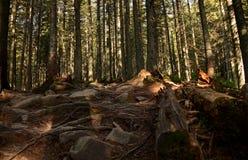 Высокие старые деревья растут на наклонах гор Завоевание пиков стоковые фото