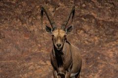 Высокогорный ibex с огромными рожками стоковые фотографии rf