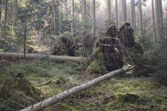 Высокорослое тонкое дерево упало сверх во время последнего шторма стоковые изображения