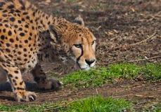 В засаде лежит гепард с оранжевой кожей, освещенной по солнцу на зеленой траве весны, охоты большие запятнанные кота стоковое изображение rf