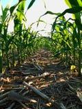 В кукурузном поле где черенок мозоли все еще коротки, около Ливерпуля, Пенсильвания стоковая фотография