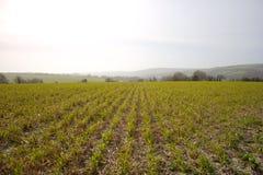 В строках засадил заводы зерна на акре в южной Англии стоковая фотография