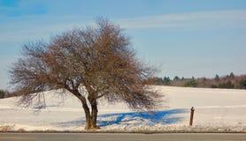в форме Широк дерево в зиме с раздвоенным хоботом и сети миниатюрных ветвей стоковое фото rf