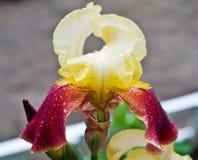 �eautiful iris Stock Image