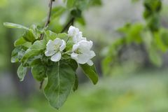 Ð'looming apple tree. Flowers close up. Selective focus stock photo