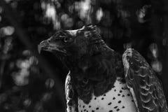 Военный орел с ушибом к нему крыло и глаз стоковое изображение