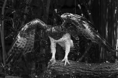 Военный орел хлопая его крылья стоковые фото