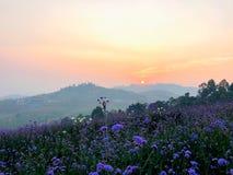 Восход солнца за горой в утре с небольшим фиолетовым цветком вербены зацветая в поле стоковое изображение rf