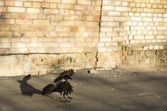 Ворона принимает  стоковое фото