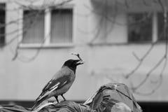 Ворона хватает остатки от отброса стоковое фото