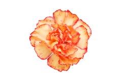 Гвоздика покрашенная персиком стоковое фото rf