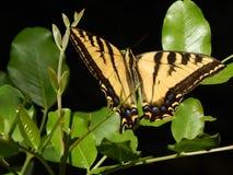 Гигантская бабочка Swallowtail тигра на зеленом цвете покидает высокое разрешение стоковое фото
