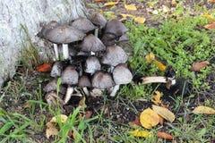 Группа в составе грибы на зеленой траве на солнечный день осени стоковое фото