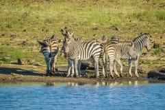 Группа в составе испытывающая жажду зебра выпивая от запруды во время сафари в африканском bushveld стоковые фото