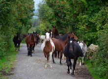 Группа в составе лошади идя к их конюшне Ирландия стоковое фото rf