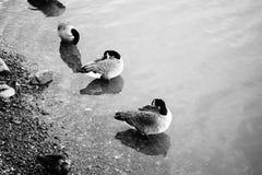 Группа в составе птицы сидя в воде на пляже стоковые фотографии rf
