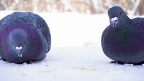Голуби есть зерно в парке в зиме Конец-вверх голубей клюя пшено в снеге в парке на предпосылке проходить акции видеоматериалы